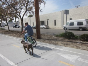 A bicyclist works out his dog on the bikeway